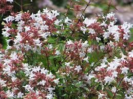 Abelia caprifoliaceae paesaggi garden vivaiopaesaggi garden vivaio - Fiori da esterno primaverili ...