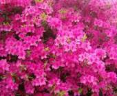 Azalea (Ericaceae)