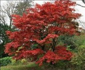 Acer (Aceracee)